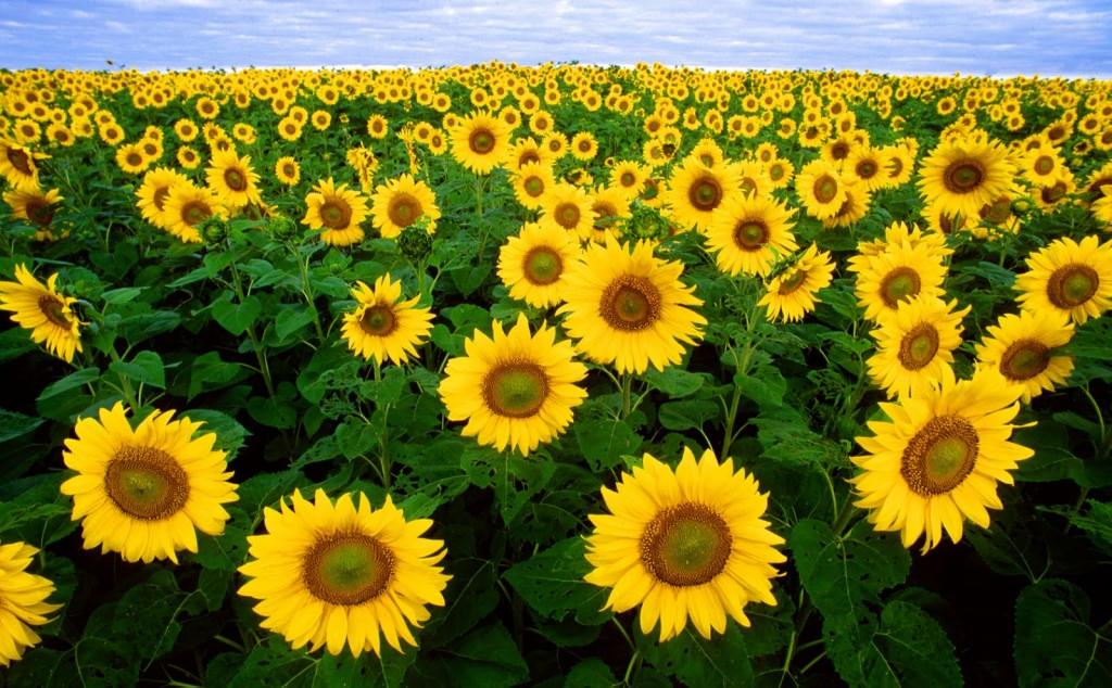 Sunflowers-1024x634