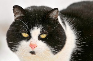 Cat photo, courtesy of Tambako the Jaguar, Flickr