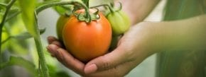 hand holding tomato on organic farm