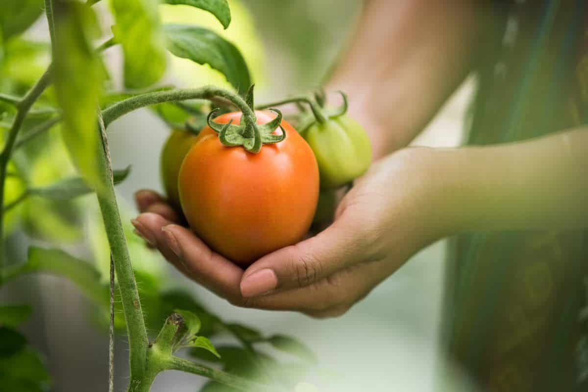 hand holding tomato on organic farm