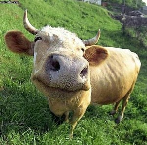 Happy Cow Image